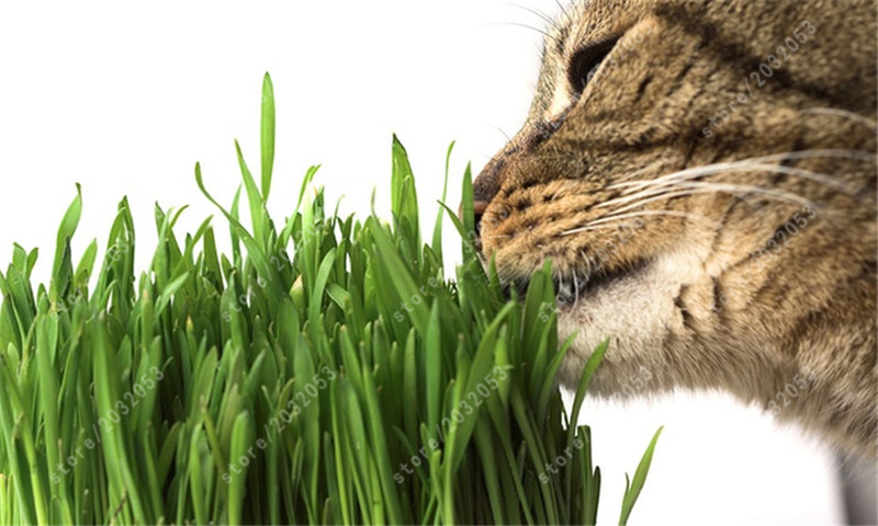 cat grass seeds 50 pcs cat wheat herb seeds for home garden planting