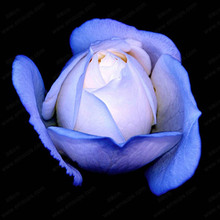 9999 pcs/ bag Exotic ,Blue Rose Flower Plant, 100% Genuine Rare Chinese Roses