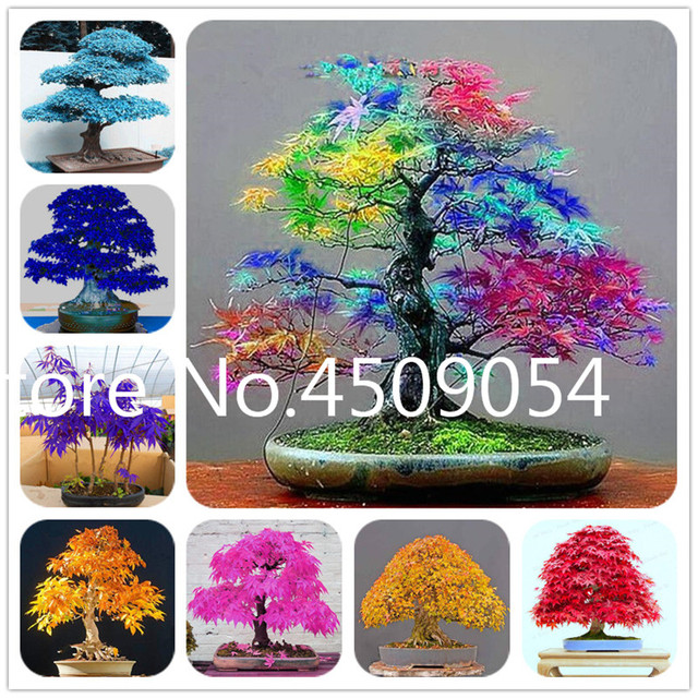 Hot Sale! 20 pcs American Maple Seedsplant Bonsai Tree Seedling beautiful tree Potted Canadian Flame maple for DIY Home Garden