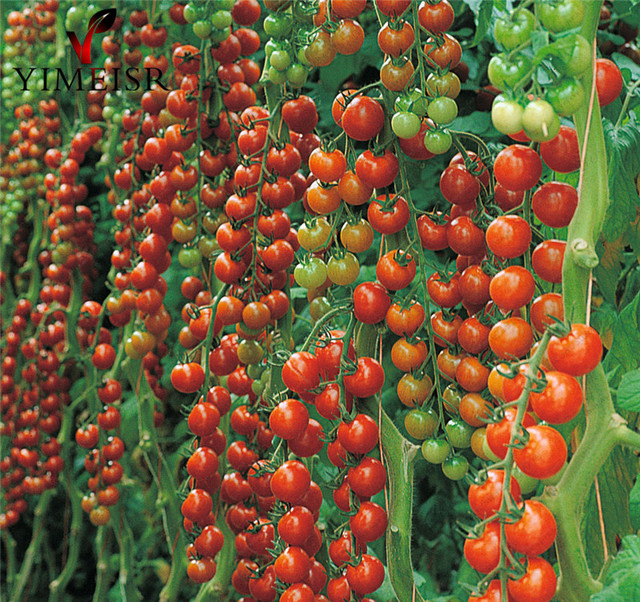 50pcs big red cherry tomato seeds sweet tomatoe vegetable for How to grow cherry tomatoes from seeds