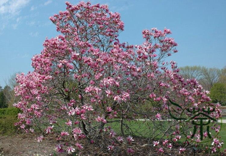 Nigra Lily Magnolia (Magnolia liliiflora 'Nigra') in Long Island ...