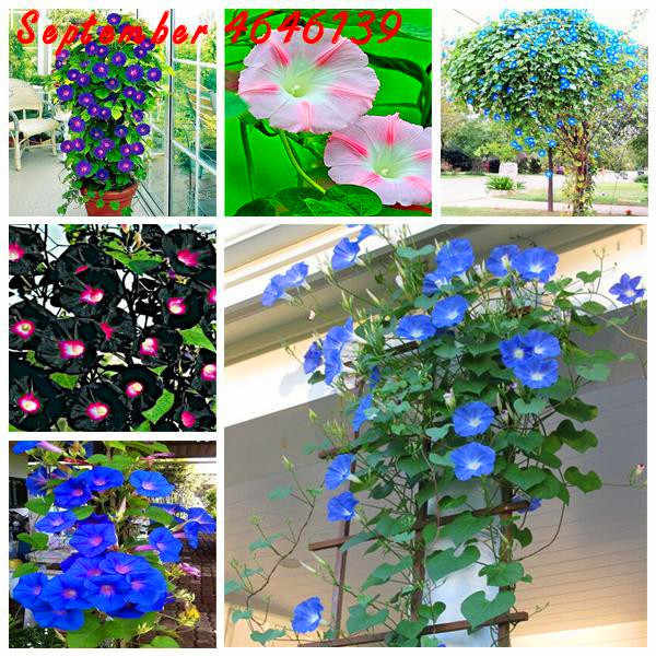 100 Pcs Morning Glory Fiore Bonsai, Divertente Arrampicata per la Casa Giardino Piantare piantine Petunia Pianta, mini Bonsai Fiore