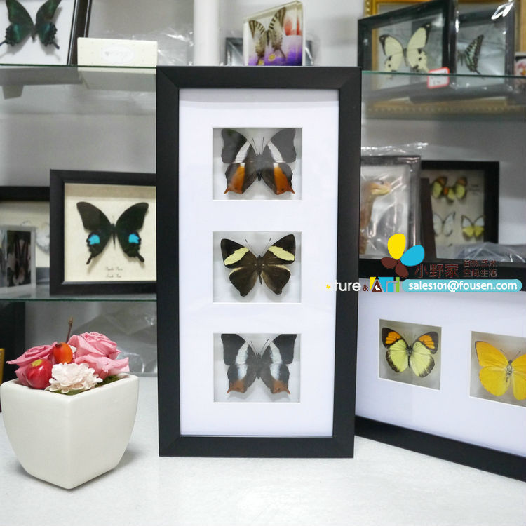 fousen023 preserved butterfly insects flowers and seashells ps shadow box framed - Shadow Box Frames