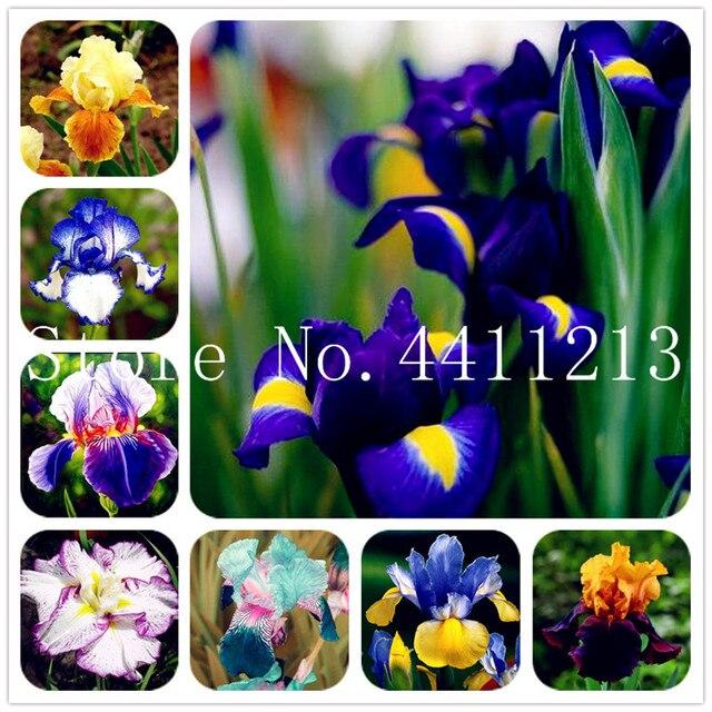 200 pz Rare Iris Fiore di orchidea piante d'appartamento Bella Casa Giardino Pia