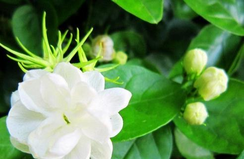 Free shipping 20 pieces white jasmine Seeds, fragrant plant arabian jasmine flower seed  ...