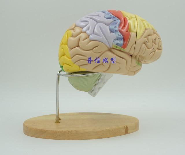 Wissenschaft Museum mit medizinischen montiert 2 mal brain modell ...