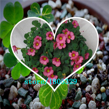 Oxalis Versicolor Flowers Seeds 1000pcs World's Rare Flowers For Garden Home Planting Flowers Semillas
