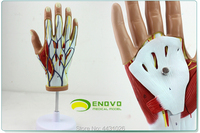 ENOVO Medical human hand muscle neurovascular model hand joint hand dissection movement system