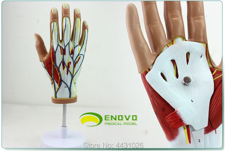 ENOVO Medical human hand muscle neurovascular model hand joint hand dissection movement systemENOVO Medical human hand muscle neurovascular model hand joint hand dissection movement system