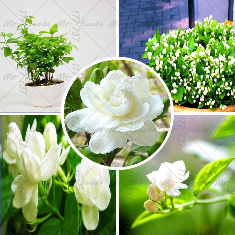 unidsbolsa jasmine semillas semillas de flores de plantas de interior raras semillas