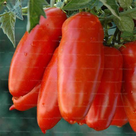 100 قطع الطازجة الأحمر الطماطم بونساي لذيذ صحي الخضار النباتات سهلة تنمو ل ديكور حديقة المنزل