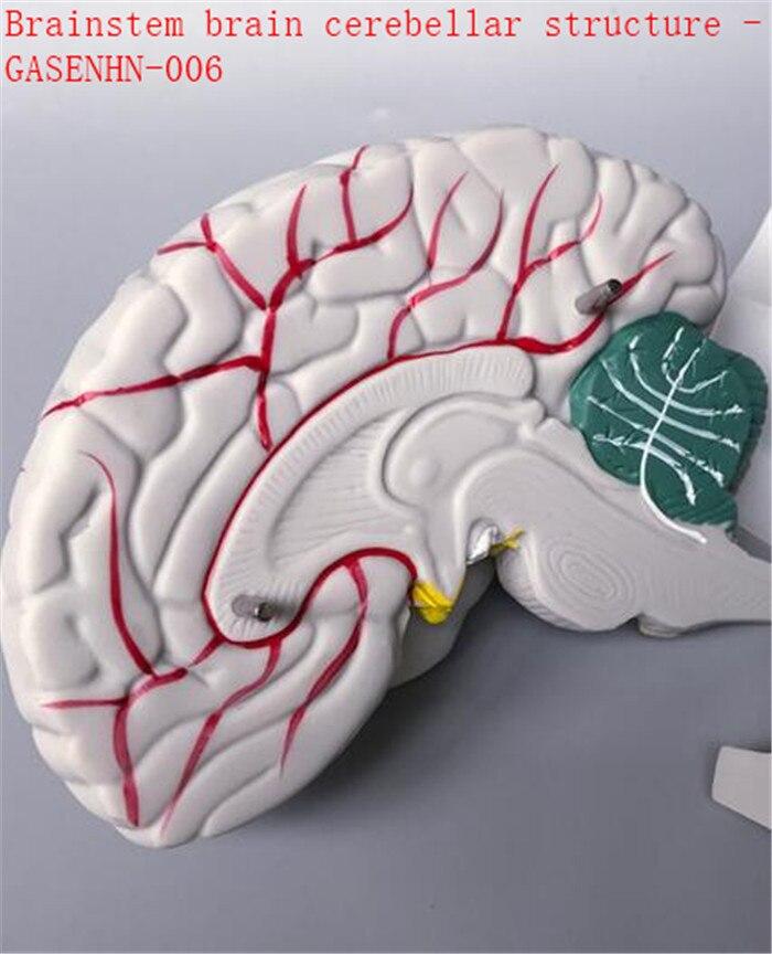 Ziemlich Anatomie Des Hirnstamms Bilder - Menschliche Anatomie ...