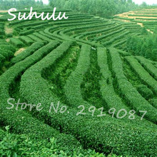 Chinese Green Tea Tree Seeds 30Pcs/Bag DIY Tea for Healthy Bonsai Tea Tree Seeds Diy home garden Refreshing Plants