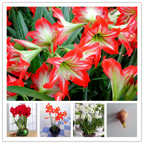 true color mix hippeastrum rutilum bulbsnot hippeastrum rutilum seedsamaryllis flowers symbolizes loveflower plant 2 bulbs in bonsai from home garden - Images Of Flowers To Color 2