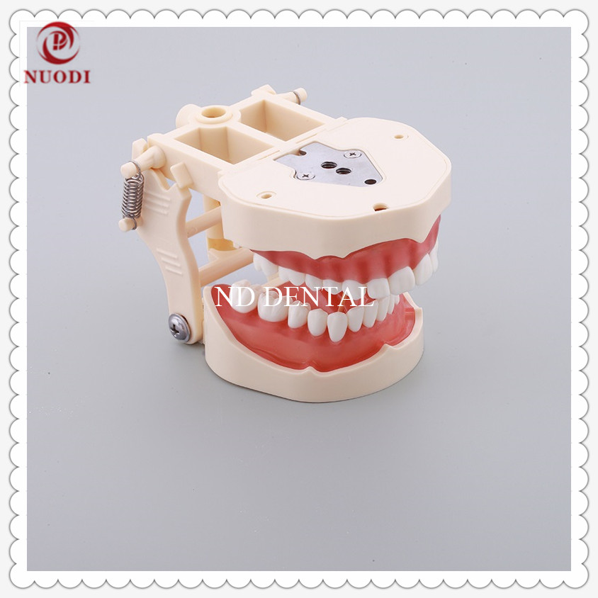 Standard  Education Teeth Model with Soft Gum/Dental Study Teeth Model 32 screw in teeth/Spring adjustable teeth model M8014Standard  Education Teeth Model with Soft Gum/Dental Study Teeth Model 32 screw in teeth/Spring adjustable teeth model M8014
