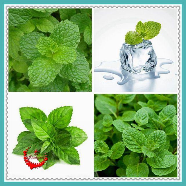 400 NON-GMO Mint Mentha Seeds Fresh Culinary Medicinal DIY Home Garden Plant