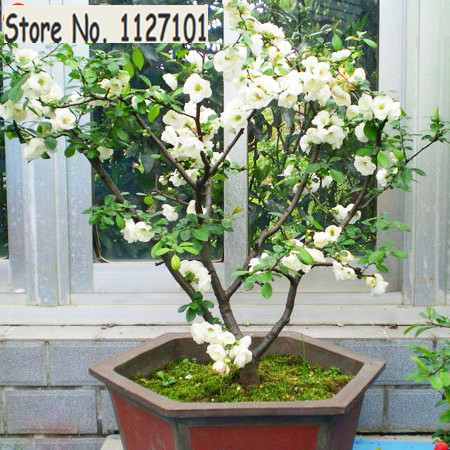Hot selling 10 PCS White Begonia Flower Seeds 100% True Malus Spectabilis Seeds Potted Begonia Bonsai Tree Seeds DIY Home Garden