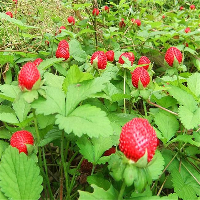 Popular Strawberry Tree Seeds Buy Cheap Strawberry Tree