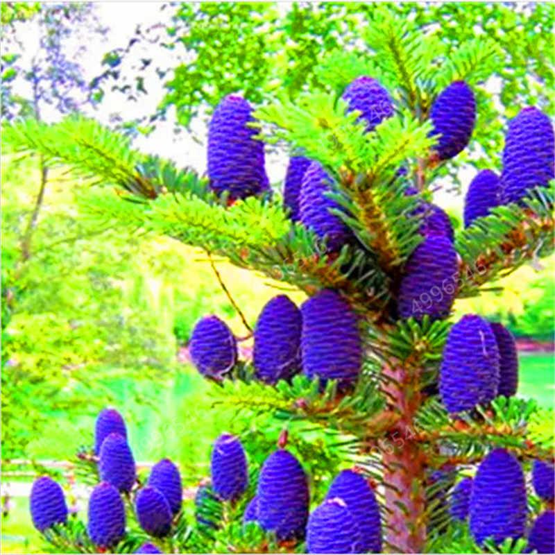 100 Pcs/Bag Korean Fir Abies Nordmann Fir (Christmas Tree, Conifer) Tree Flower House Garden Bonsai Plants free shipping