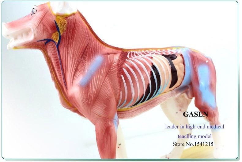 Medical Animal Dog Body Anatomical Model Dog Point Model Of