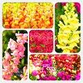 Подлинная! 100 Семян/Серия Золотая Рыбка многолетнее семена цветов ведущих цветочный горшок балкон многоцветный