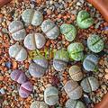20pcs/lot Lithops Otzeniana Mix Lithops Succulents Seeds Succulents Bonsai Home Garden Ornament Potted Flower