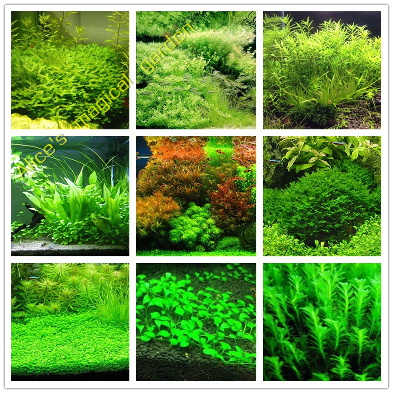Hot Sale 1000pcs New aquarium grass seeds mix water aquatic plant seeds family easy plant seeds for decorate the aquarium