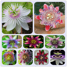 20pcs Rare Flower Seeds Passiflora Seeds Fruit Tree Seeds Passion Fruits Seeds Home Garden Plant Sementes De Frutas Raras 10pcs bag bauhinia flower seeds bauhinia tree butterfly tree rare orchid flower tree seeds fresh bauhinia purpurea seeds
