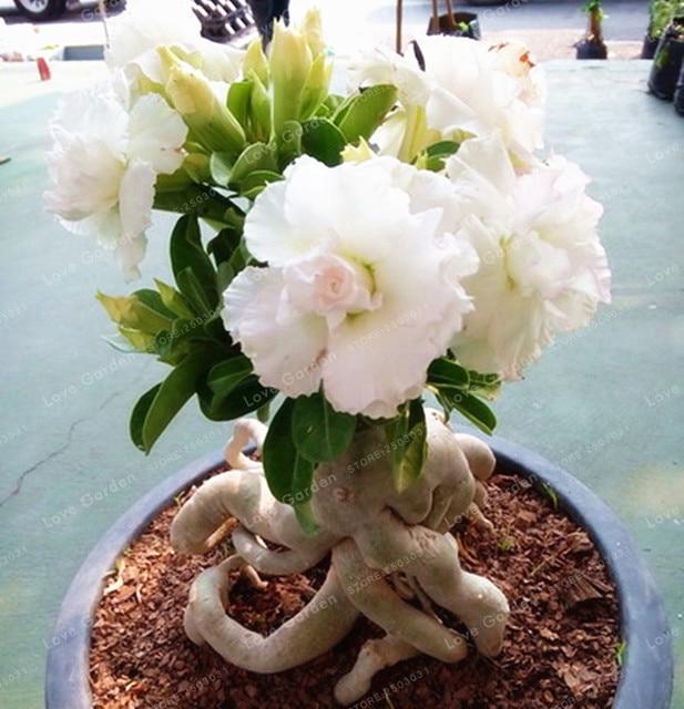 White Desert Rose Bonsai Potted Flowers Bonsai 100% True Bonsai Air Purification Home Garden Potted Flower 1 Pcs/Bag & White Desert Rose Bonsai Potted Flowers Bonsai 100% True Bonsai Air ...