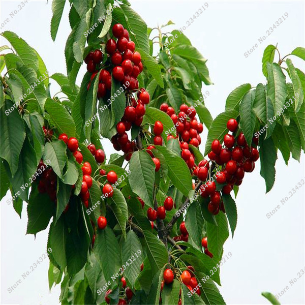 Cherry tree from asian