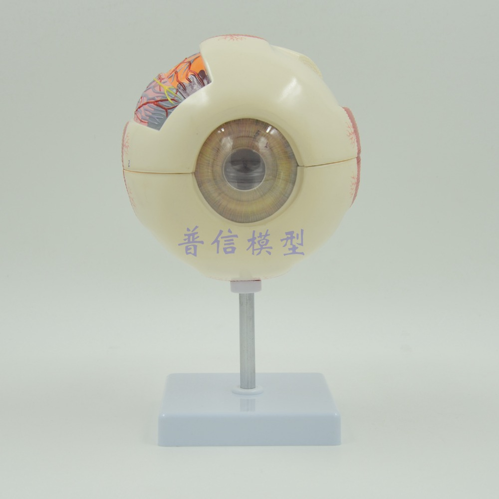 DongYun brand Human eyeball anatomical model six times Medical organs teaching supplies dongyun brand human kidney anatomical model urinary system medical science teaching supplies