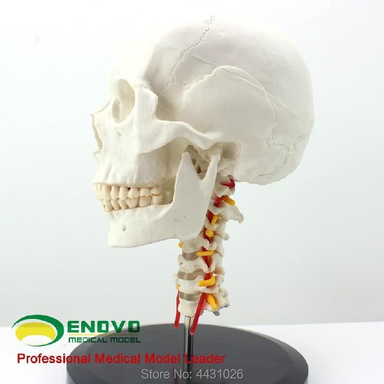 купить ENOVO Craniofacial skull model with human.skull and skull model in Department of orthopedics по цене 3556.06 рублей