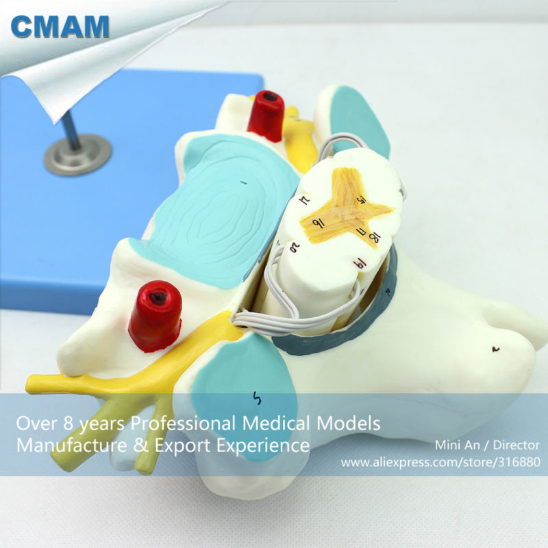 12393 CMAM-VERTEBRA09 Cervical Vertebrae with Spinal Cord(Medical Model, Anatomical Model) 12338 cmam pelvis01 anatomical human pelvis model with lumbar vertebrae femur medical science educational teaching models