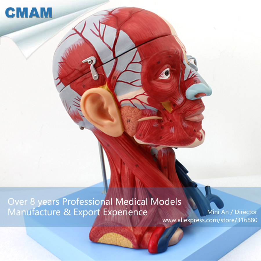 12309 Cmam Muscle15 Human Head With Muscles Anatomy Model Medical