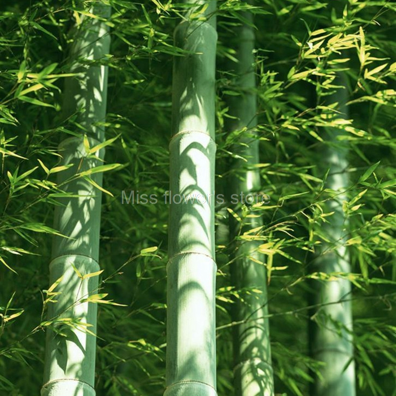 60 pcs pack giant moso bamboo seeds rare fresh diy home garden plant easy to - Growing Bamboo