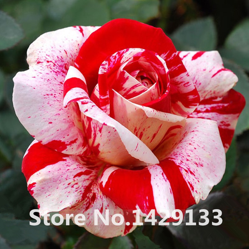 Strip shrub rose flower seeds 200pcs rare bush rose flower seeds strip shrub rose flower seeds 200pcs rare bush rose flower seeds yello red pink purple garden bonsai exotic plant new in bonsai from home garden on mightylinksfo
