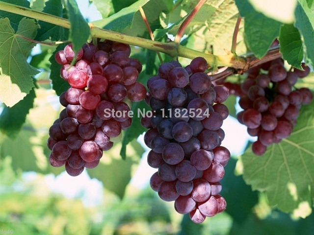 *RED CONCORD GRAPES* 10 SEEDS *EASY GROW*WINE*JAM*SWEET *
