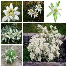New to the100 pcs Pure Sacred Flowers Brave White Edelweiss Bonsai Austrian Country Flower Garden Dotted Plants Understory(China)
