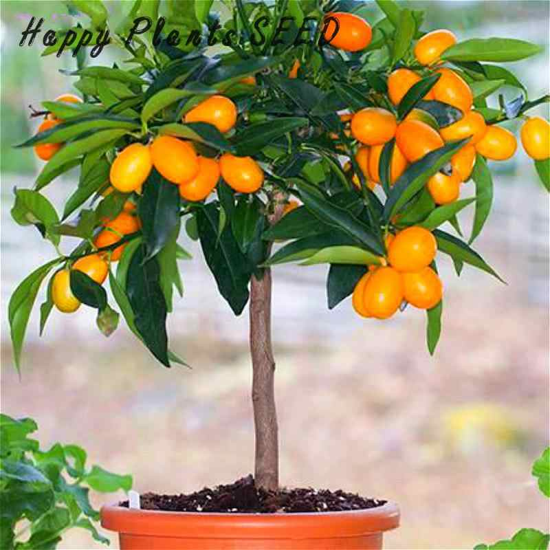 20 pcs orange biji no-gmo mini bonsai pohon bonsai balkon teras pot tanaman buah kumquat biji tangerine jeruk sementes
