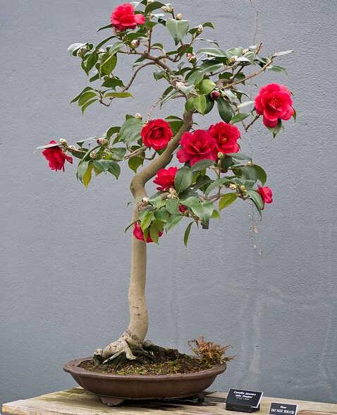 100/Pack Camellia Bunga Pohon Bonsai DIY Pot Tanaman, indoor/Outdoor Pot Keluarga Mudah untuk Menanam Tanaman