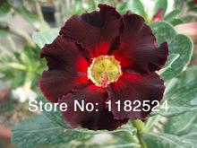 20 семена — свежий редкие » очень черный » Adenium Obesum семена — бонсай семена