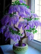 Wisteria bonsai flower wisteria tree plant perennial flowers climbing growth for home garden 10 pcs