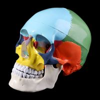 Life Size Colorful Human Skull Model Anatomical Anatomy Medical Teaching Skeleton Head Studying Teaching Supplies
