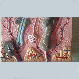 Image 5 - 50 keer 24x23x11 cm Menselijke Huid en Haar Structuur Vergroten Model Skin Layer Structuur Model Menselijks Skelet Anatomisch Model