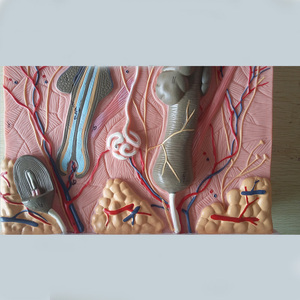 Image 5 - 50 times 24x23x11cm Human Skin and Hair Structure Enlarge Model Skin Layer Structure Model  Humans Skeleton Anatomical Model