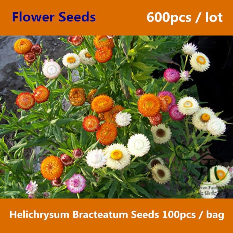 Best Buy Strawflower Helichrysum Bracteatum 600pcs Golden