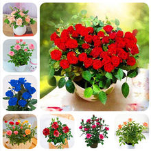 500 pcs mixed Rare Holland beautiful Rainbow Rose Flower bonsai Home Garden Rare Flower plant 24 color rainbow flower plant(China)