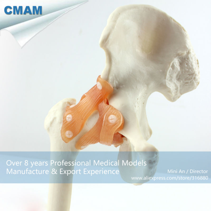 12353 CMAM-JOINT06 Medical Anatomy Life-Size Hip Joint Models 12463 cmam anatomy25 life size anatomy model male perineum on board medical science educational teaching anatomical models