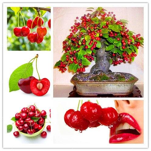 10 unids/bolsa rojo cereza bonsái balcón jardín fruta bonsái maceta planta verde bonsái cereza frutas orgánicas bonsái