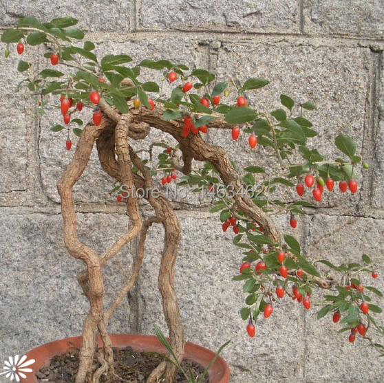 online buy wholesale goji berry plant from china goji berry plant, Beautiful flower